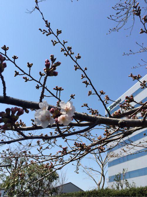 開花した桜の花