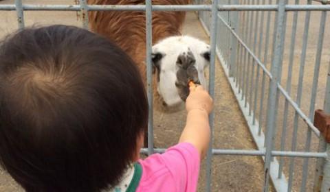息子くん餌付けに初挑戦。ブンバ・ボーン!でおなじみアルパカ…かと思ったらリャマだった件。